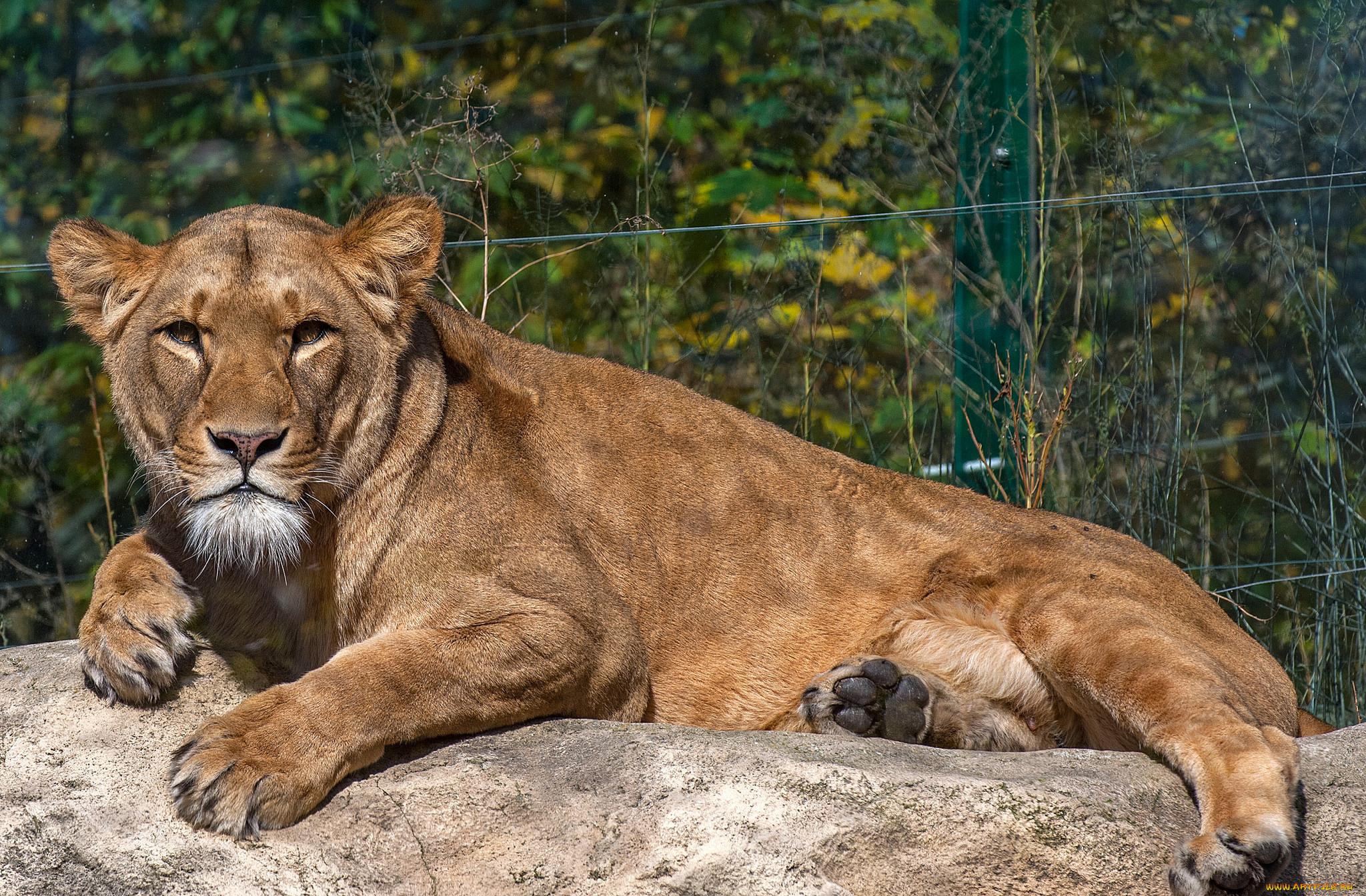 животные, львы, львица